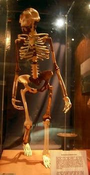 השלד של לוסי במוזיאון הלאומי באדיס אבבה