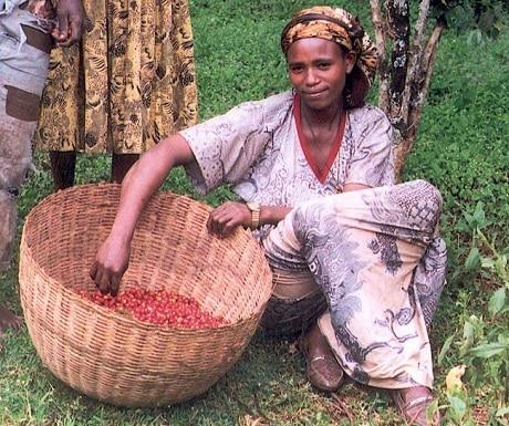 קטיף קפה באתיופיה - הפארק הביוספרי קאפה - עותק