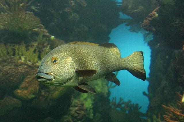 דג באקווריום