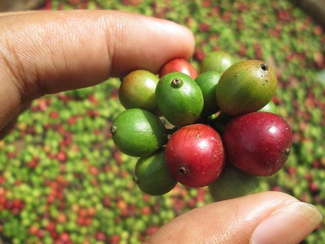 פולי קפה ירוקים - אחוזת הקפה בבקה