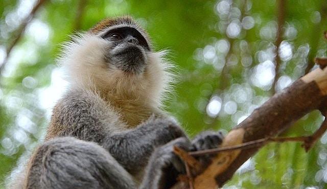 קוף באתיופיה
