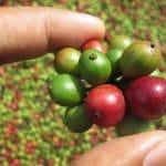 אחוזת הקפה בבקה – Bebeka