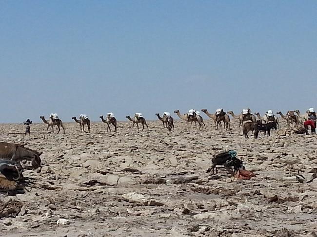 שיירת גמלים על מדבר מלח באתיופיה
