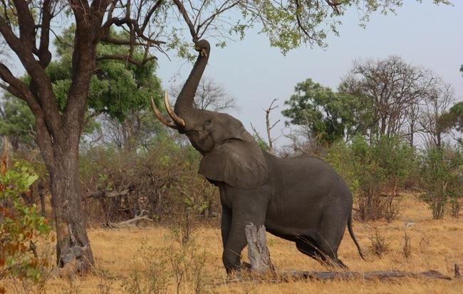 פיל אפריקאי - הפארק הלאומי אומו