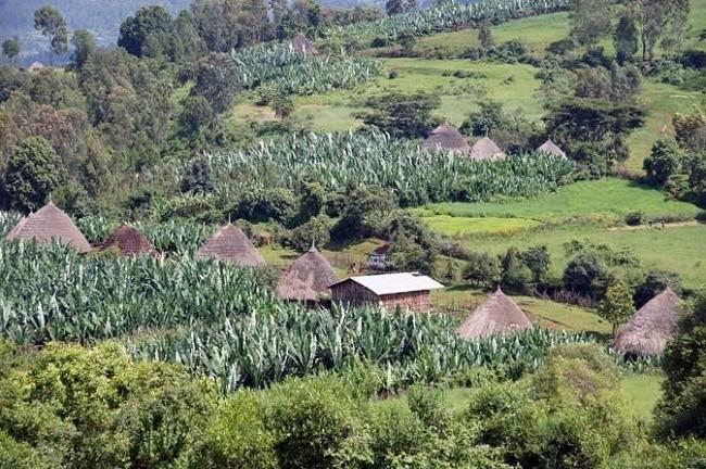 בקתות הקש (גודג'ו/טוקול) והמטעים של הכפר דֶבֶּר תבור