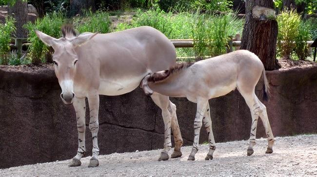 זוג ערודים בתוך הפארק הלאומי יאנגודי רסה