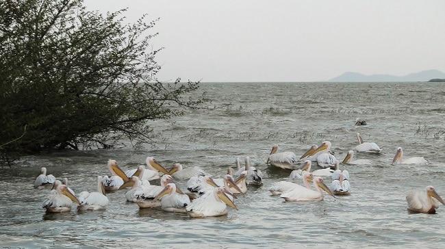שקנאים באגם זיוואי