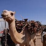 שוק הגמלים בבאטי – Bati