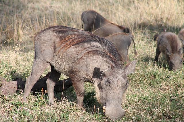 חזיר בר בטבע אתיופיה