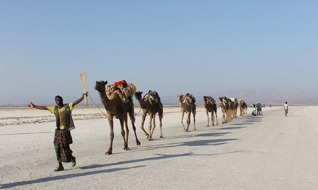 אורחת גמלים בדרכה מאיזור אגם אסלה למקלה