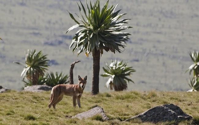 הזאב החבשי – אחת החיות האנדמיות לאתיופיה