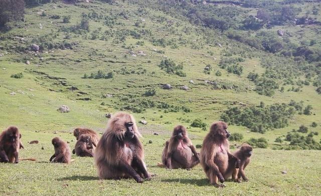 קופי הג'ילדה בפארק הרי סימיאן עושים פוזות למצלמה שלנו