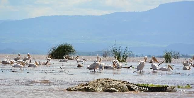 תנינים ושקנאים באגם צ'אמו