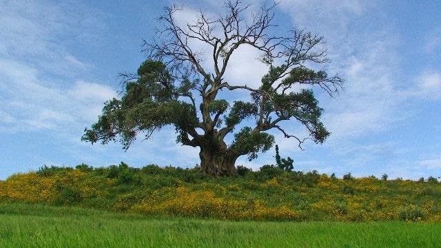 עץ אחד מיני רבים באתיופיה