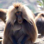 בעלי חיים באתיופיה