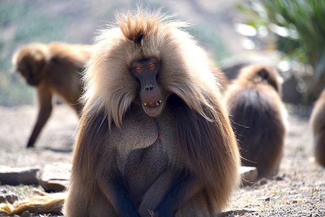 קוף ג'ילדה (בבון זנוב) בפארק הרי סימיאן